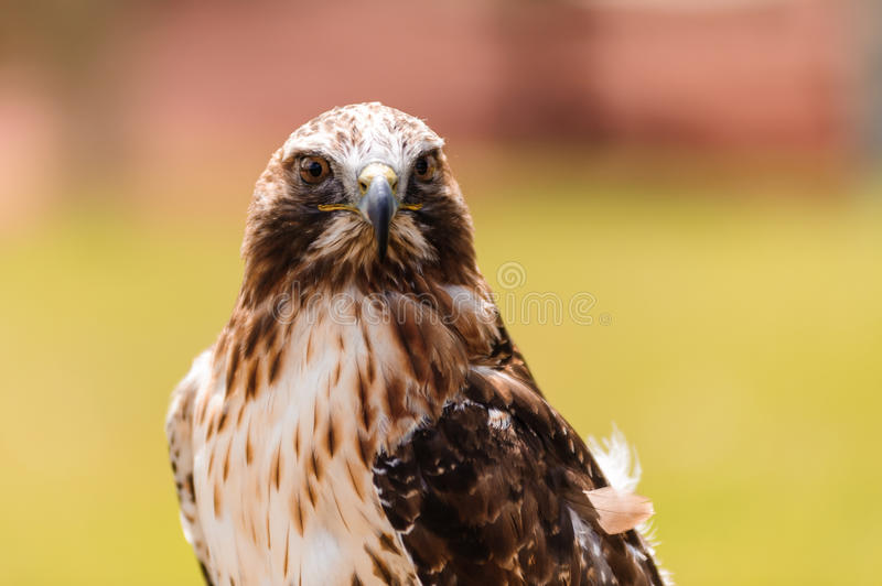red-tailed hawk closeup royalty free stock images