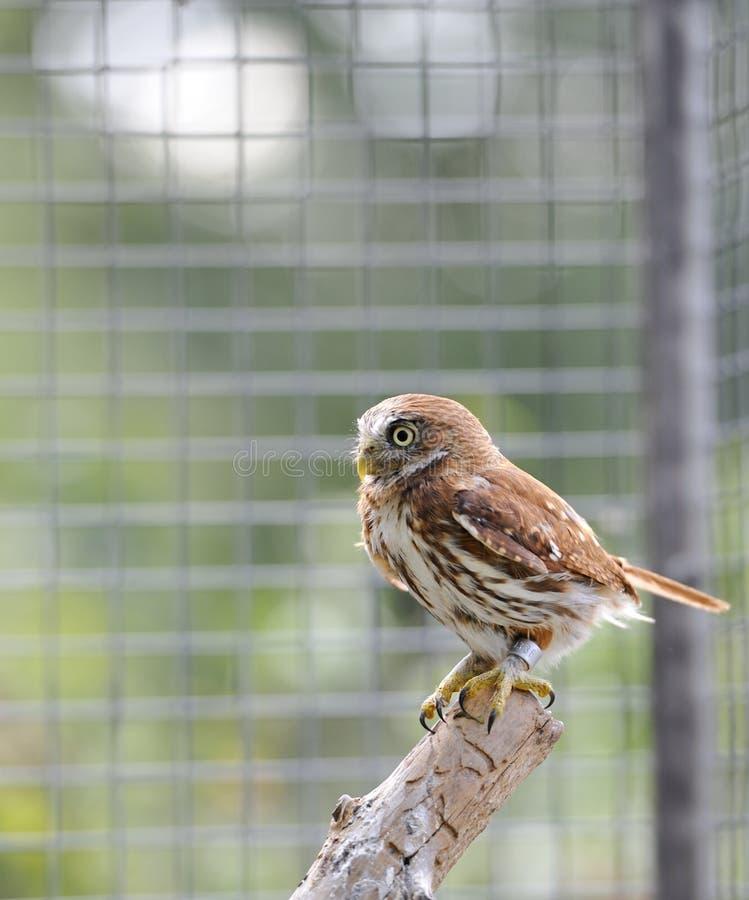 Ferruginous Pygmy Owl Royalty Free Stock Images