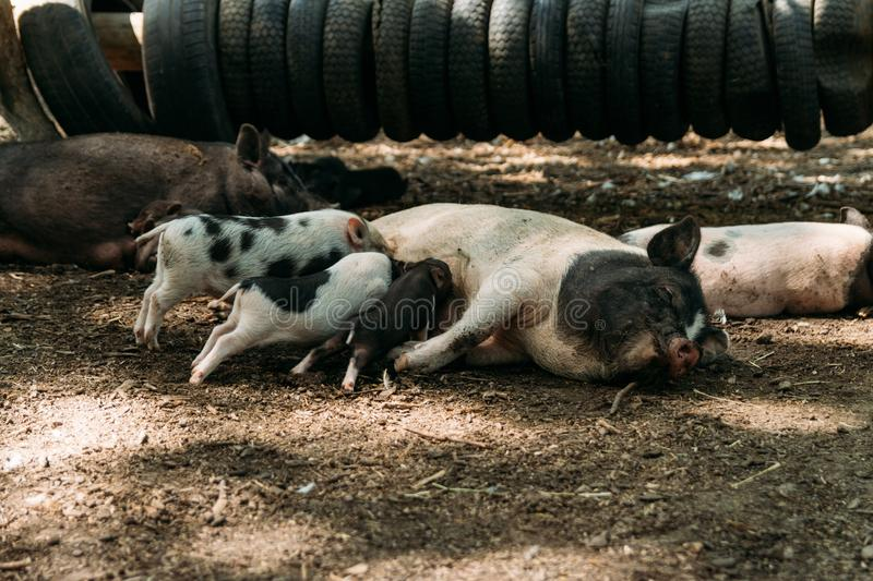Fertile sow lying on straw and piglets suckling.farm, tires, zoo Vietnamese pigs royalty free stock photos