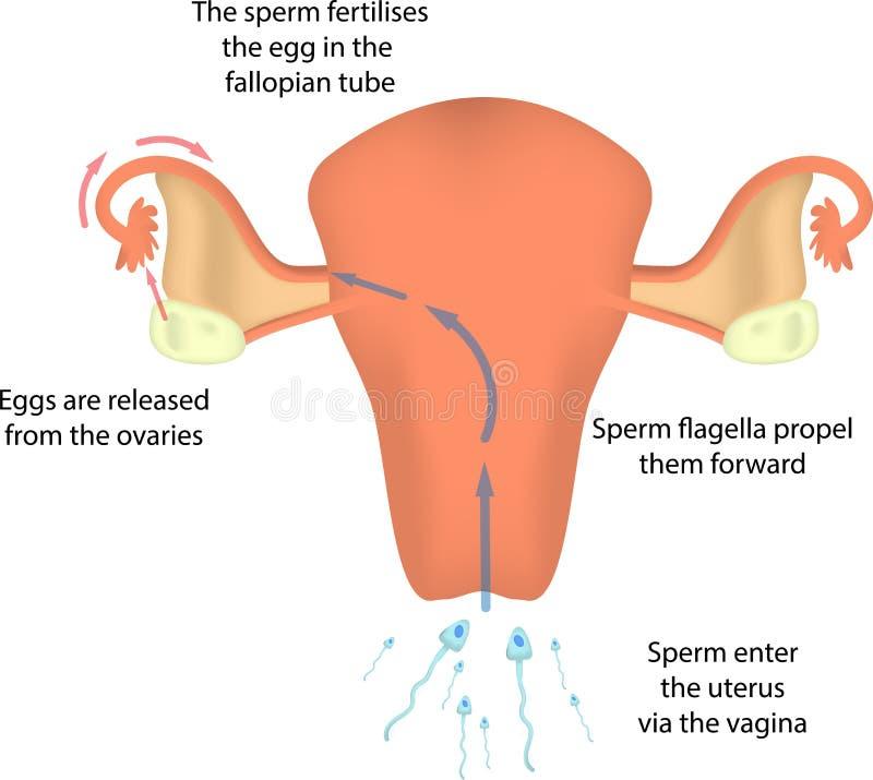 Fertilisation dans l'utérus images libres de droits