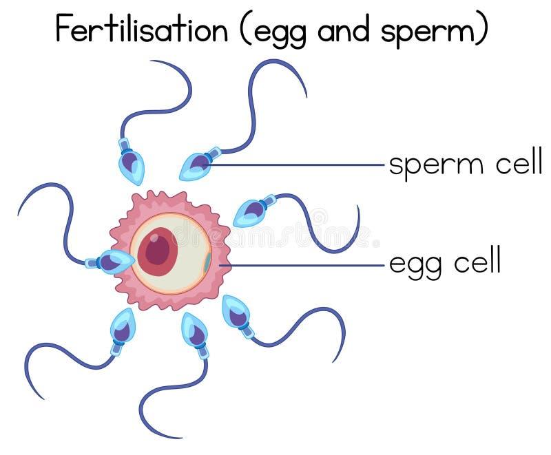 Fertilisation de diagramme d'oeufs et de sperme illustration libre de droits