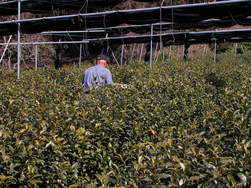 Fertilisation de la culture de thé photographie stock libre de droits