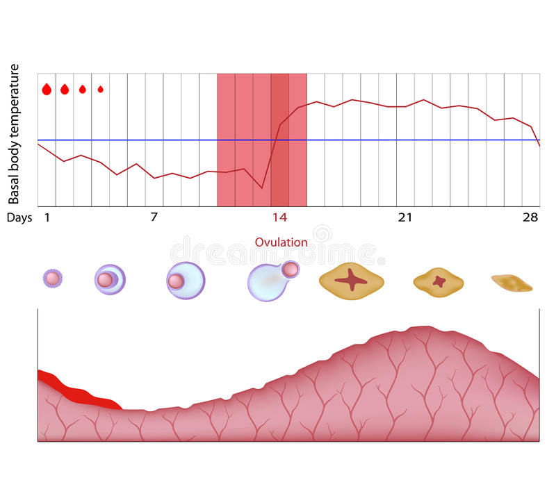 Fertility chart. Changes of body temperature during menstrual cycle, eps10 vector illustration