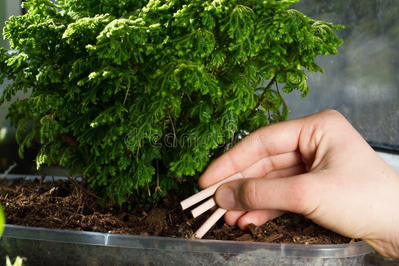 Fertilização da orquídea dos hashis As varas do adubo são introduzidas na carcaça para orquídeas fotografia de stock royalty free