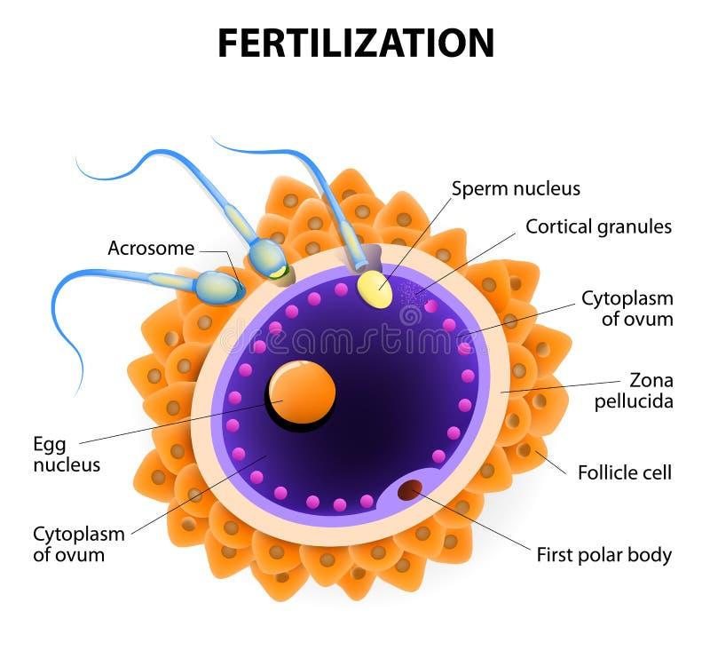 fertilización Célula de esperma de la penetración del huevo ilustración del vector