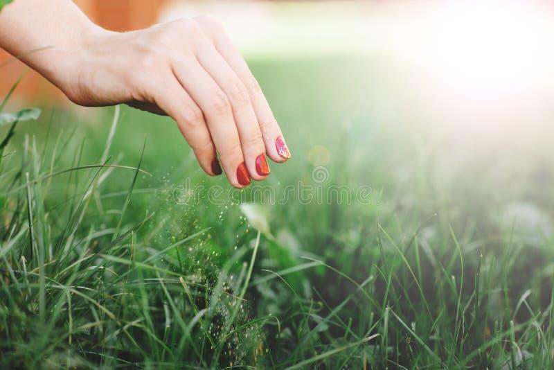 Fertilizante estacional de la hierba Cerca para arriba de la mano de la mujer, toma el cuidado del césped Espacio para el texto fotos de archivo libres de regalías