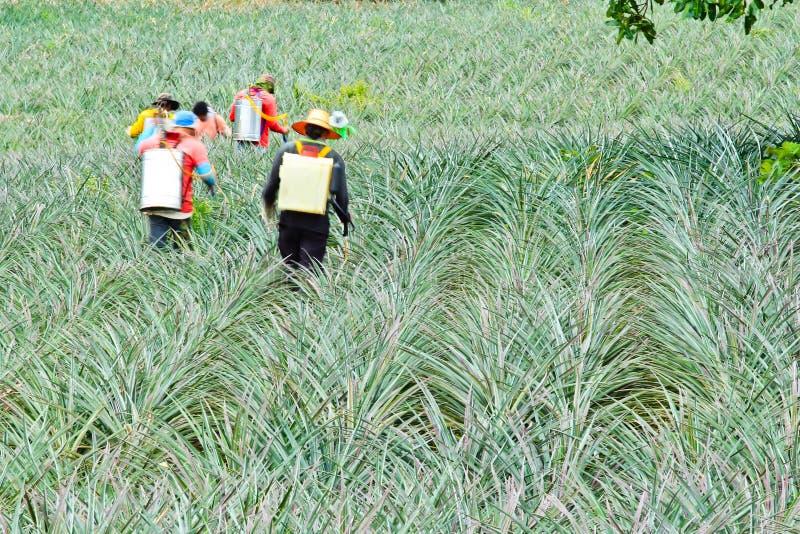Download Fertilizing Pineapple Farmers Stock Image - Image: 26482111