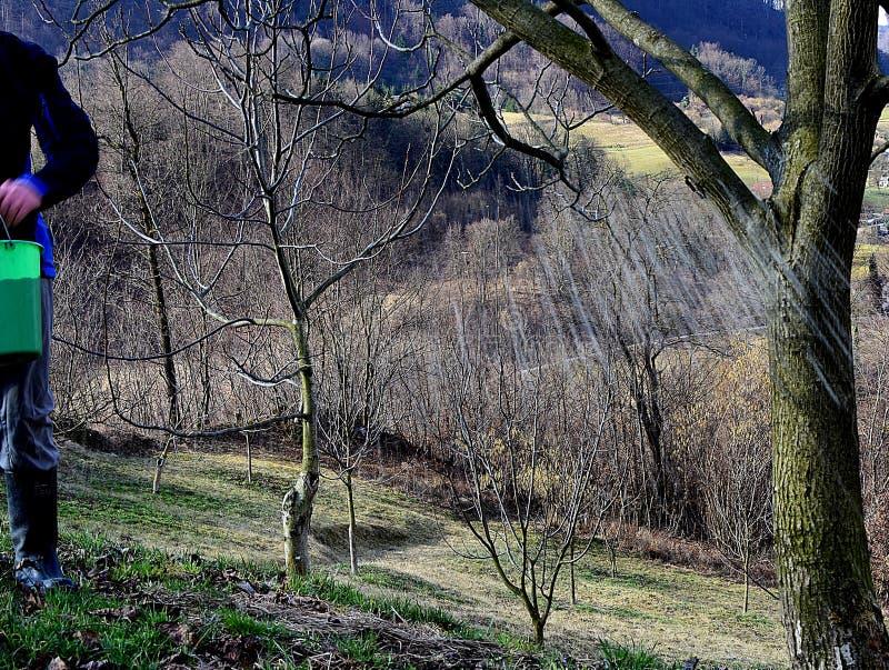 Fertilizing Walnut Trees before the rain stock image