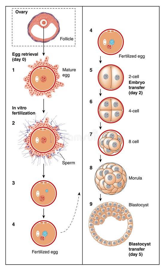 Fertilizzazione in vitro illustrazione di stock