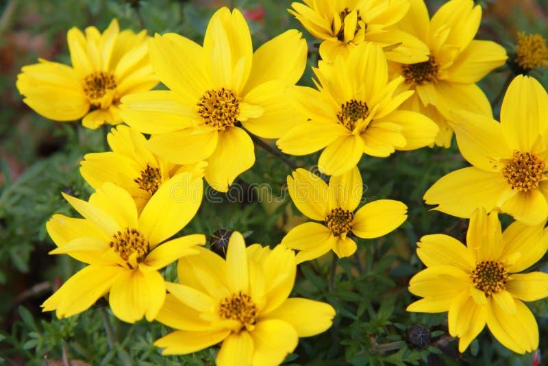 Ferulifolia de Bidens images libres de droits