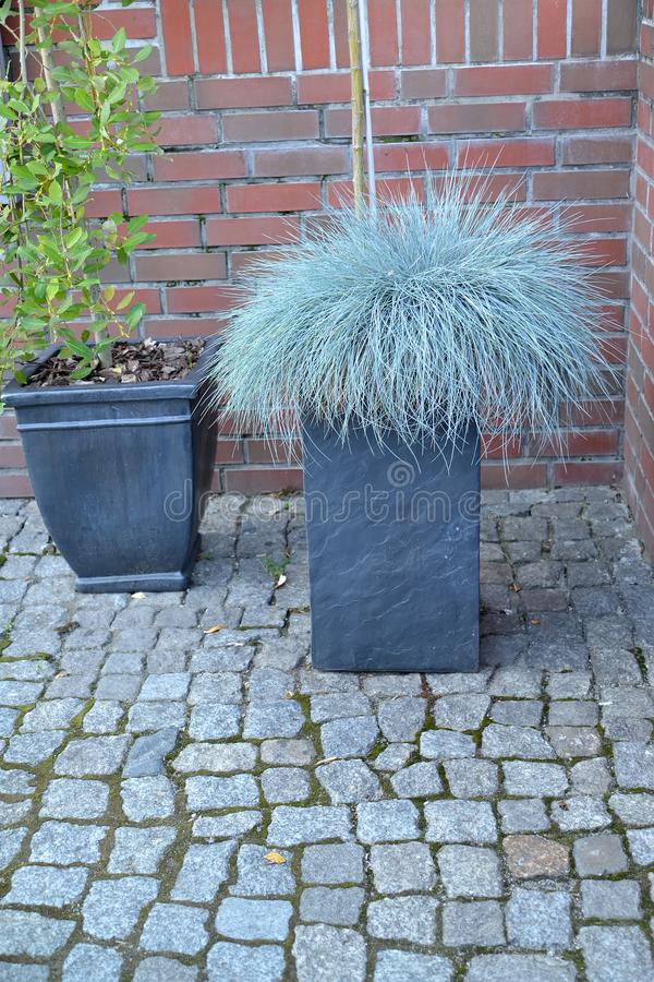 The fescue blue gray Festuca cinerea grows in a decorative flowerpot.  royalty free stock photos