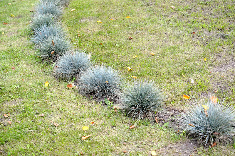 The fescue blue (gray) (Festuca cinerea) grows on a lawn.  royalty free stock images