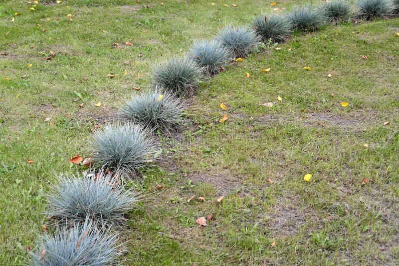 The fescue blue (gray) (Festuca cinerea) is planted on a lawn.  stock photo