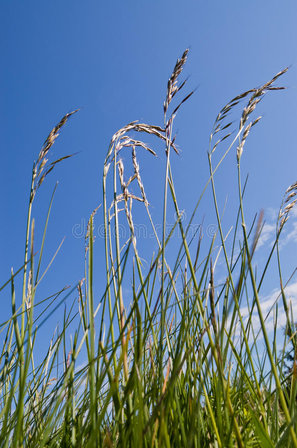 Fescue grass. Closeup of tall fescue Festuca grass on meadow against blue sky royalty free stock photo