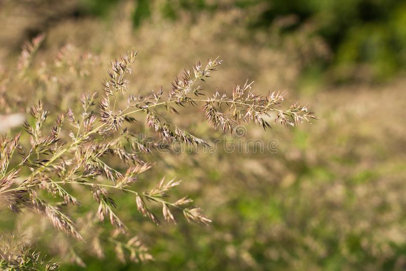 Fescue Grass Grow On Sunny Meadow. Fescue Grass Festuca Partensis Grow On Sunny Meadow Summer royalty free stock photography