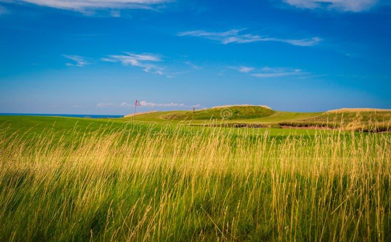 Fescue grass golf course. Long fescue grass at a golf course in Nova Scotia stock image
