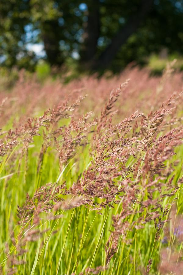 Fescue Grass On Summer Sunny Meadow. Perennial Herbaceous Plant. Fescue Grass Festuca Partensis Grow On Summer Sunny Meadow stock image