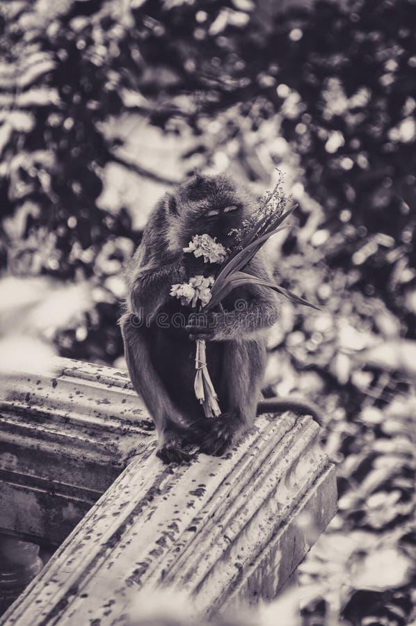 Festa das flores para este Macaque na parte superior de Krabi, Tailândia fotos de stock