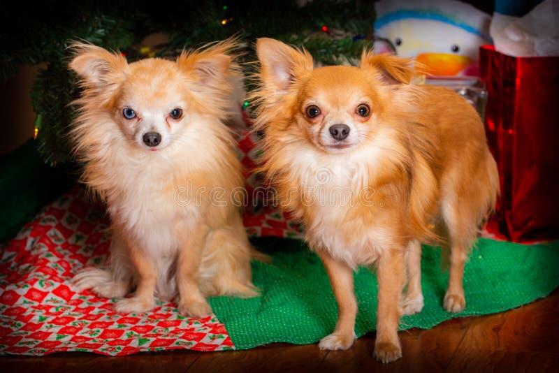 Festa di Natale canina fotografia stock libera da diritti