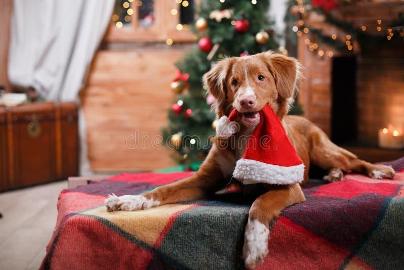 Festa di Nova Scotia Duck Tolling Retriever del cane, Natale fotografie stock libere da diritti