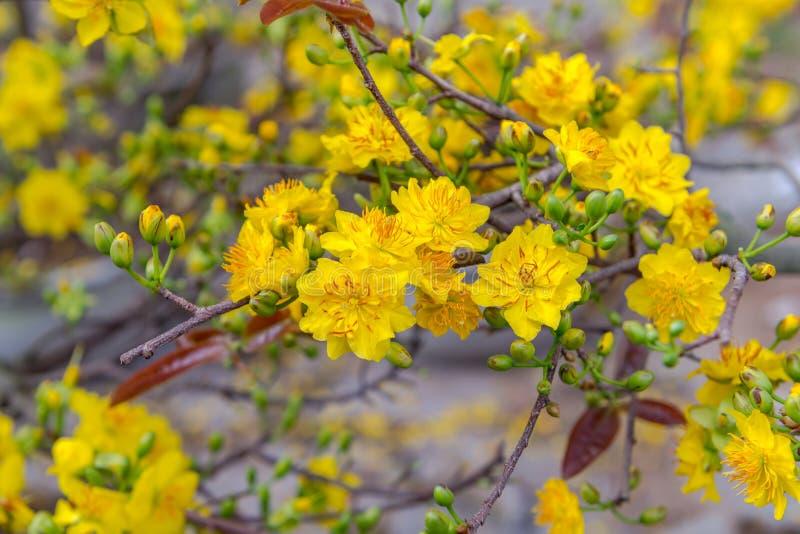 Festa lunare vietnamita del nuovo anno del fiore giallo dell'albicocca nel Nord fotografia stock