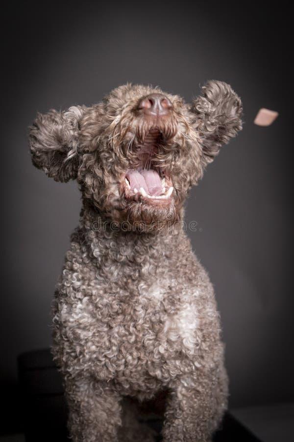 Festin contagieux de chien de romagnolo de Lagotto image libre de droits
