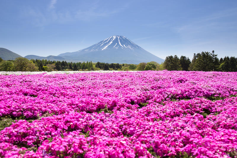 Festival de Japón Shibazakura con el campo del musgo rosado de Sakura o de la flor de cerezo con la montaña Fuji Yamanashi, Japón imagen de archivo libre de regalías