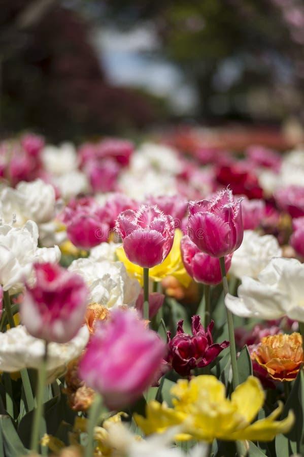Festival del tulipán en Australia durante la estación floreciente imágenes de archivo libres de regalías