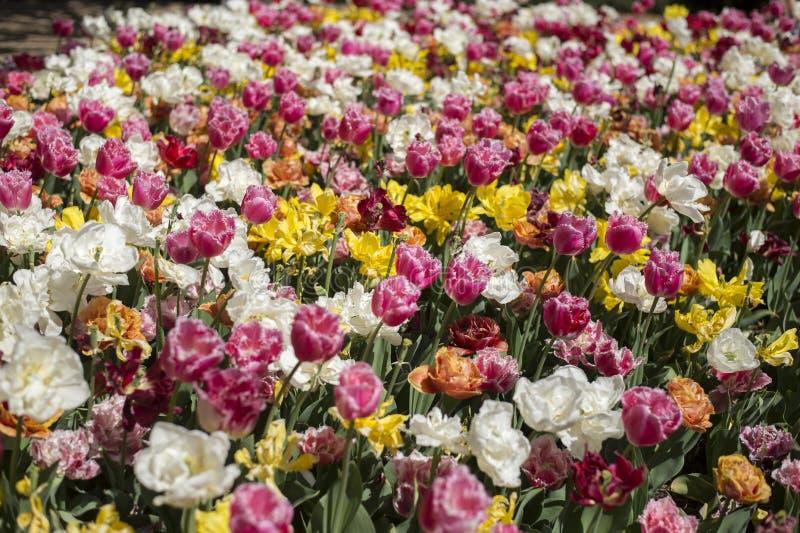 Festival del tulipán en Australia durante la estación floreciente fotos de archivo libres de regalías