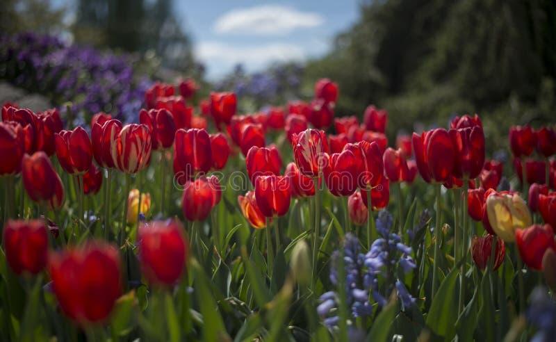Festival del tulipán en Australia durante la estación floreciente foto de archivo