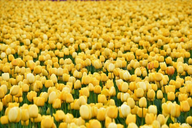 Festival do Tulip do vale de Skagit imagens de stock royalty free