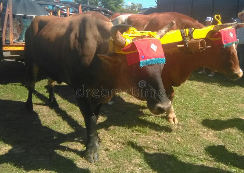 Festival Yuntas De Oxen En Aguada foto de archivo
