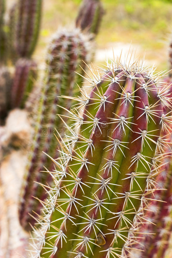 Festive Cactus royalty free stock image