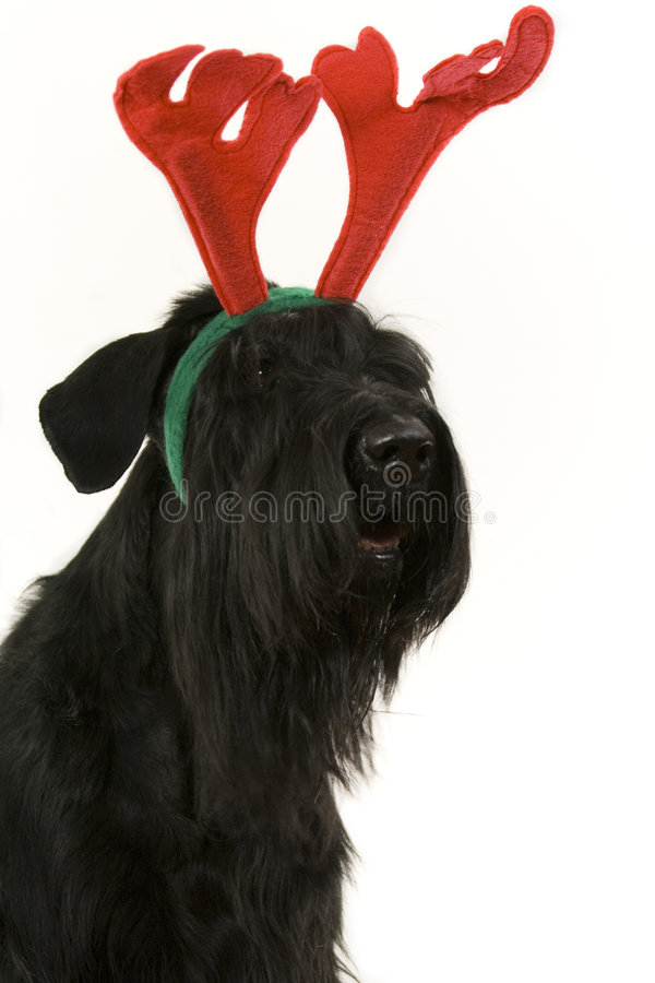 Festive dog with antlers stock photography