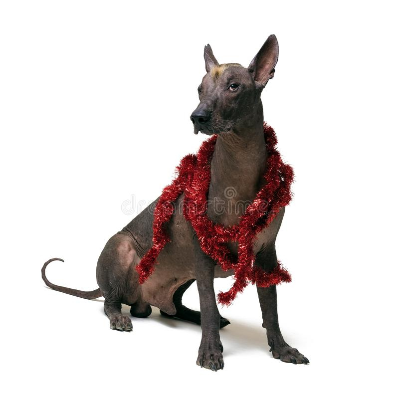 Festive dog Xoloitzcuintli in party red Christmas tinsel isolated on white background stock photography