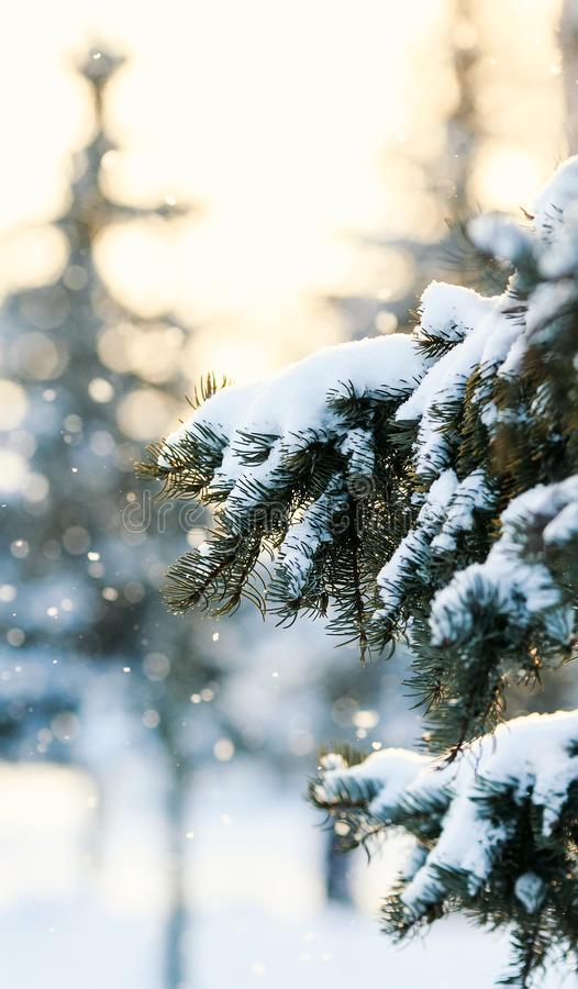 Festive green spruce branch covered with white snow on a backgr. Beautiful festive green spruce branch covered with white snow on a background of shiny circles stock photography