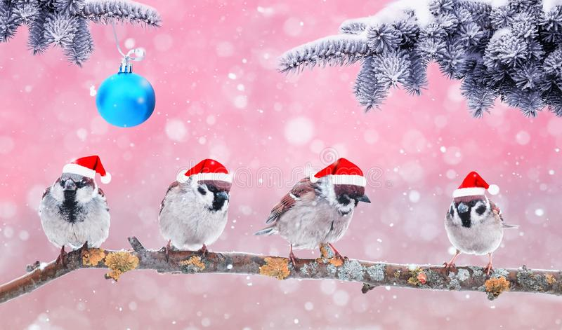 Festive natural background with funny little birds in fancy red Santa hats in Christmas garden under branches of fir tree stock photo