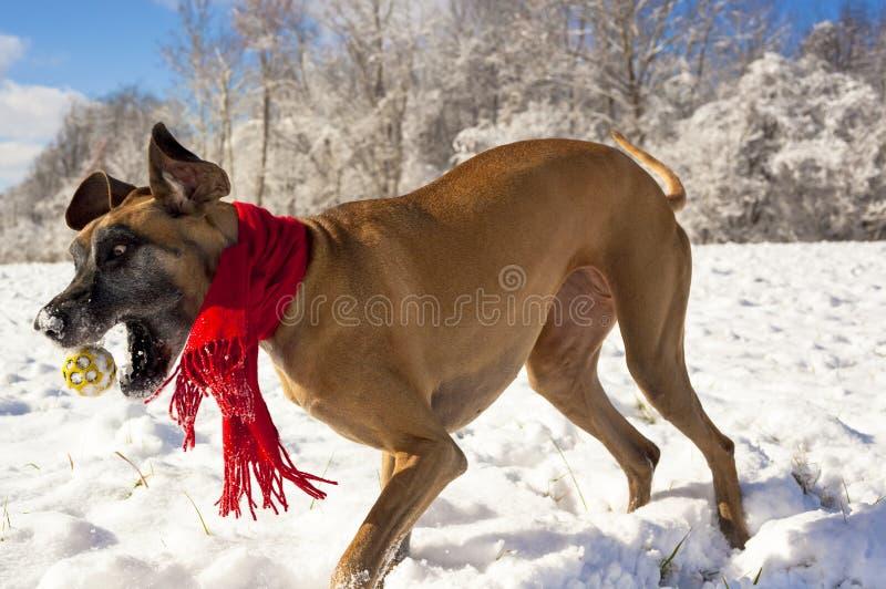 Festliga great dane som jagar bollen i snön arkivbilder
