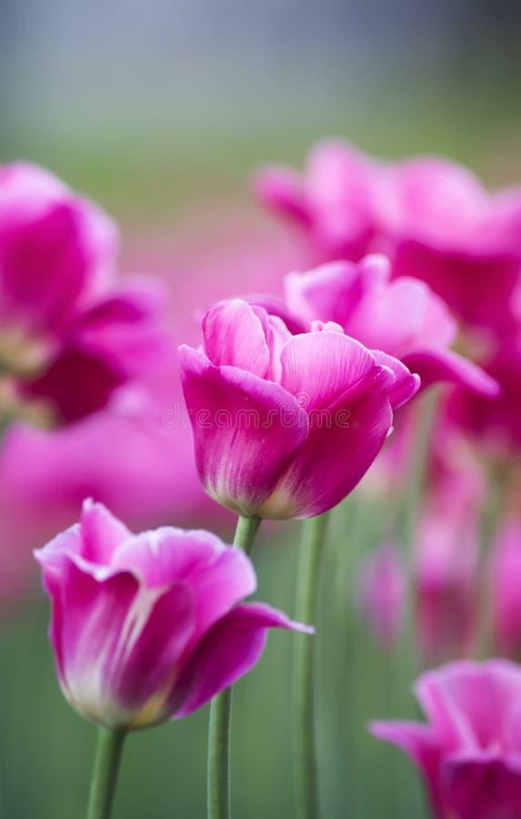 Festliga rosa tulpan växer i trädgården på våren royaltyfria bilder