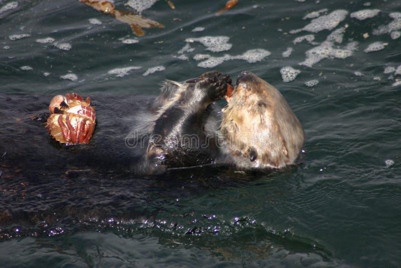 Festoiement de la loutre de mer image libre de droits