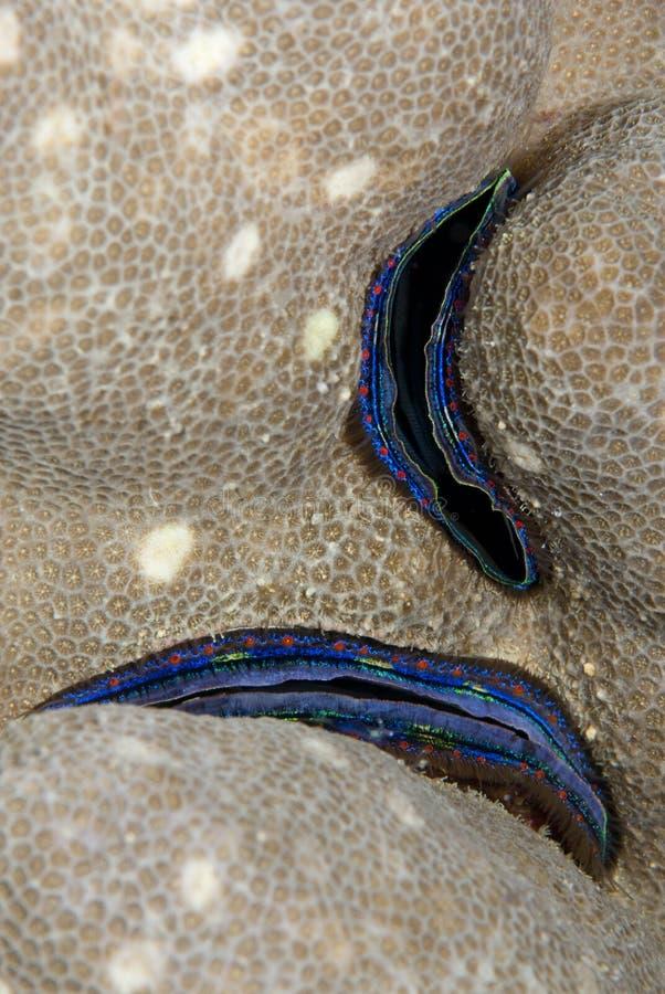feston de corail Bleu-rayé, encastré dans le récif. images stock