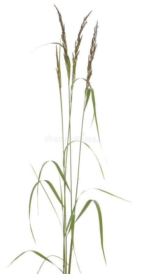 Festuca arundinacea zdjęcie stock