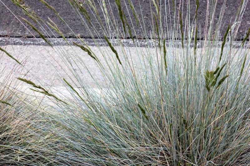 Festuca glauca, Blue fescue, clump forming perennial grass. Festuca glauca, Blue fescue, clump forming perennial ornamental grass with needle like greyish blue stock image