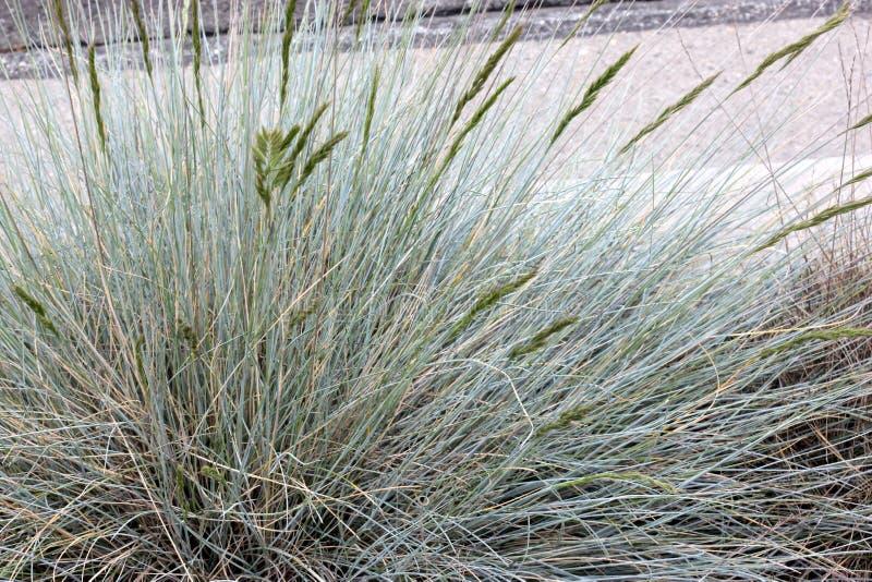Festuca glauca, Blue fescue, clump forming perennial grass stock photos