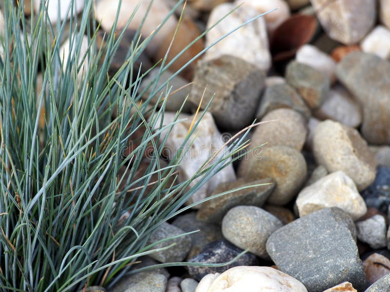 Festuca glauca. Blue Fescue with gravel on the background stock photos