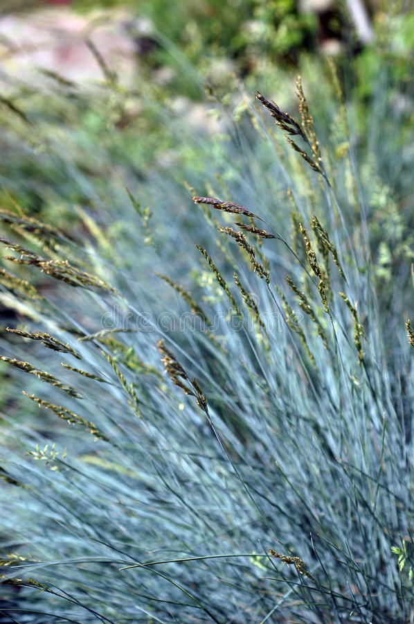 Festuca glauca Select. Common Names: Blue Fescue, Gray Fescue Slender stems of blue-gray grass bears spikelets of tiny insignificant violet flushed, blue-green stock photo