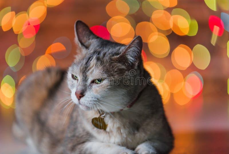 Fet katt framme av julgranen royaltyfri fotografi