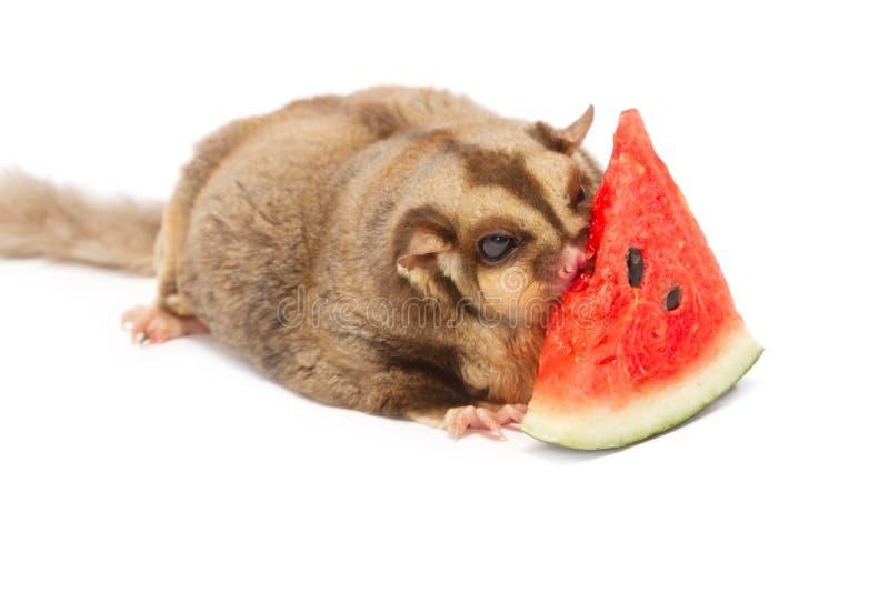 Fet sockra-glidflygplan eatting melon arkivfoto