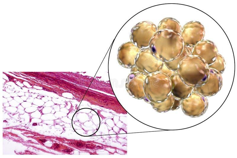 Feta celler, micrograph och illustration 3D arkivfoto