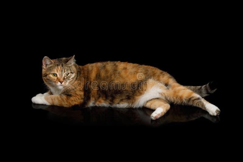 Feta Ginger Calico Cat på isolerad svart bakgrund royaltyfri fotografi